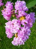 Crape myrtle in Blooming Royalty Free Stock Images