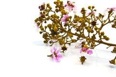 Crape Myrtle Blooms on whitee background. stock photo