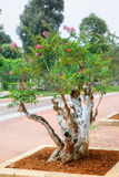 Crape myrtle bonsai tree Stock Images