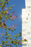Crape myrtle with building. Crape myrtle in the sunlight stock image