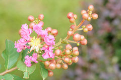 Crape myrtle Royalty Free Stock Photos