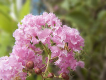 Crape myrtle. Close up of pink flower Crape myrtle, Crape flower or Indian lilac & x28; Lagerstroemia indica L & x29; Beautiful flower from natural bouquet and stock photos