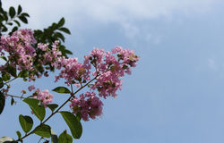 Crape myrtle Royalty Free Stock Photography