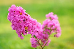 Crape myrtle flower. S isolated on a green background Stock Photo