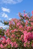 Crape myrtle flower and the blue sky Royalty Free Stock Photo