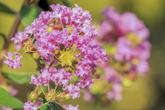 Crape myrtle flower. On blurred background stock photo
