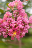 Crape myrtle flower Stock Photos