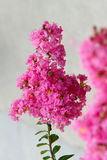 Crape myrtle flower Stock Images