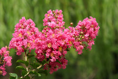 Crape myrtle flower. The close-up of crape myrtle flower. Scientific name: Lagerstroemia indica stock photo