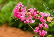 Crape myrtle flower Royalty Free Stock Photo