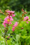 Crape myrtle flower Royalty Free Stock Photography