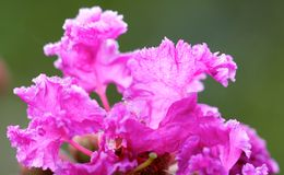 Crape Myrtle Flower macro with early morning dew. This photo was taken September 21, 2014. Crape Myrtle Tree blooming with the early morning dew still on flowers royalty free stock images