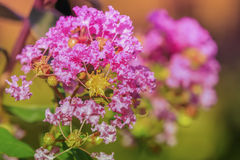 Crape myrtle flower. In pastel style royalty free stock images