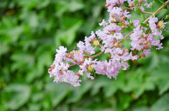 Crape myrtle flowers Stock Photo