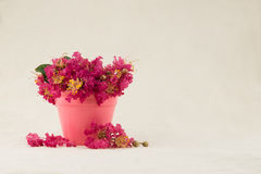 Crape myrtle flowers bouquet. In pink pot and ground with copy space royalty free stock image