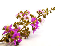 Crape Myrtle flowers on white backgroud. Beautiful Crape Myrtle flowers on white backgroud stock photography
