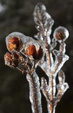 Crape myrtle in ice Royalty Free Stock Photo