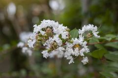 Crape myrtle, Lagerstroemia, Crape flower Indian Lilac bloom in the garden on nature background. stock images