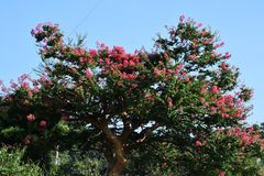 Crape myrtle. In summer, Crape myrtle`s flowers bloom in pink, red and white vibrant color in various places in Japan, let passers-on forget the heat of summer Stock Photos