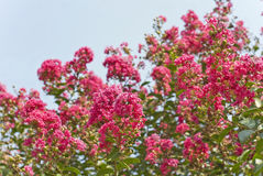 Crape Myrtle Tree Flowers (Lagerstroemia) Deep Pink Stock Images
