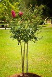 Crape Myrtle Tree Royalty Free Stock Images