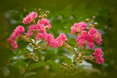 Crape Myrtle Tree Royalty Free Stock Photos