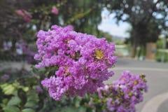 Crapemyrtle-Blumen Lizenzfreies Stockbild