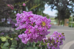 Crapemyrtle flowers Royalty Free Stock Image