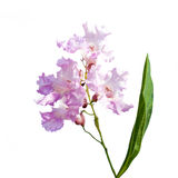Crapemyrtle Lagerstroemia Stock Images