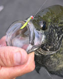 Crappie caught on micro-jig. A black crappie caught by a fly fisherman on a micro-jig Stock Image