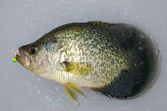 Crappie di pesca del ghiaccio Fotografie Stock
