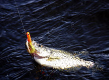 Crappie fish caught. Crappie hooked and being reeled in with orange bait in it's mouth Royalty Free Stock Images