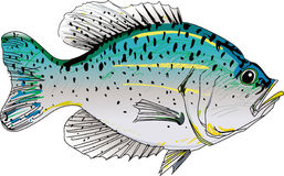 CRAPPIE FISH Stock Photo