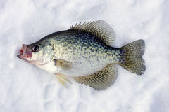 Crappie on ice Royalty Free Stock Photo