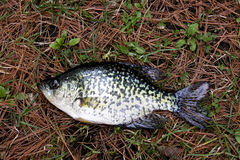 Crappie on pine needles Royalty Free Stock Image