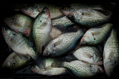 Crappie Royalty Free Stock Photos