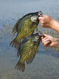 crappies royaltyfri bild