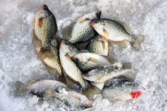 Crappies on a frozen lake Royalty Free Stock Photo