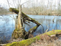 Crashed tree in swamp, Lithuania. Old trashed tree near little lake in marsh, Lithuania Stock Photo
