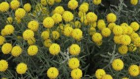 Craspedia λουλουδιών απόθεμα βίντεο