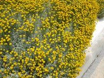 Craspedia Billy piłek Żółty kwiat obrazy stock