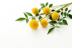 Craspedia  flowers 'Gold sticks'. On white background Royalty Free Stock Image