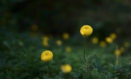 Craspedia koloru żółtego piłka kształtujący kwiaty fotografia royalty free