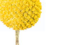 Craspedia. A single yellow craspedia flower isolated on white background.  The craspedia is in the daisy family commonly known as billy buttons, woollyheads, and Stock Photo