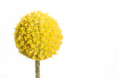 Craspedia. A single yellow craspedia flower isolated on white background.  The craspedia is in the daisy family commonly known as billy buttons, woollyheads, and Stock Photography