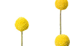 Craspedia. Three yellow craspedia flowers isolated on white background.  The craspedia is in the daisy family commonly known as billy buttons, woollyheads, and Royalty Free Stock Image
