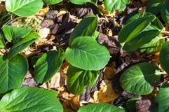 Crassifolia do Bergenia Fotografia de Stock