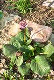 Crassifolia van Bergenia (L.) Fritsch Stock Afbeeldingen