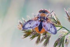 Crassipennis de Ectophasia Foto de Stock