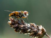 Crassipennisvlieg die van Ectophasia groot onderzoekt Stock Foto